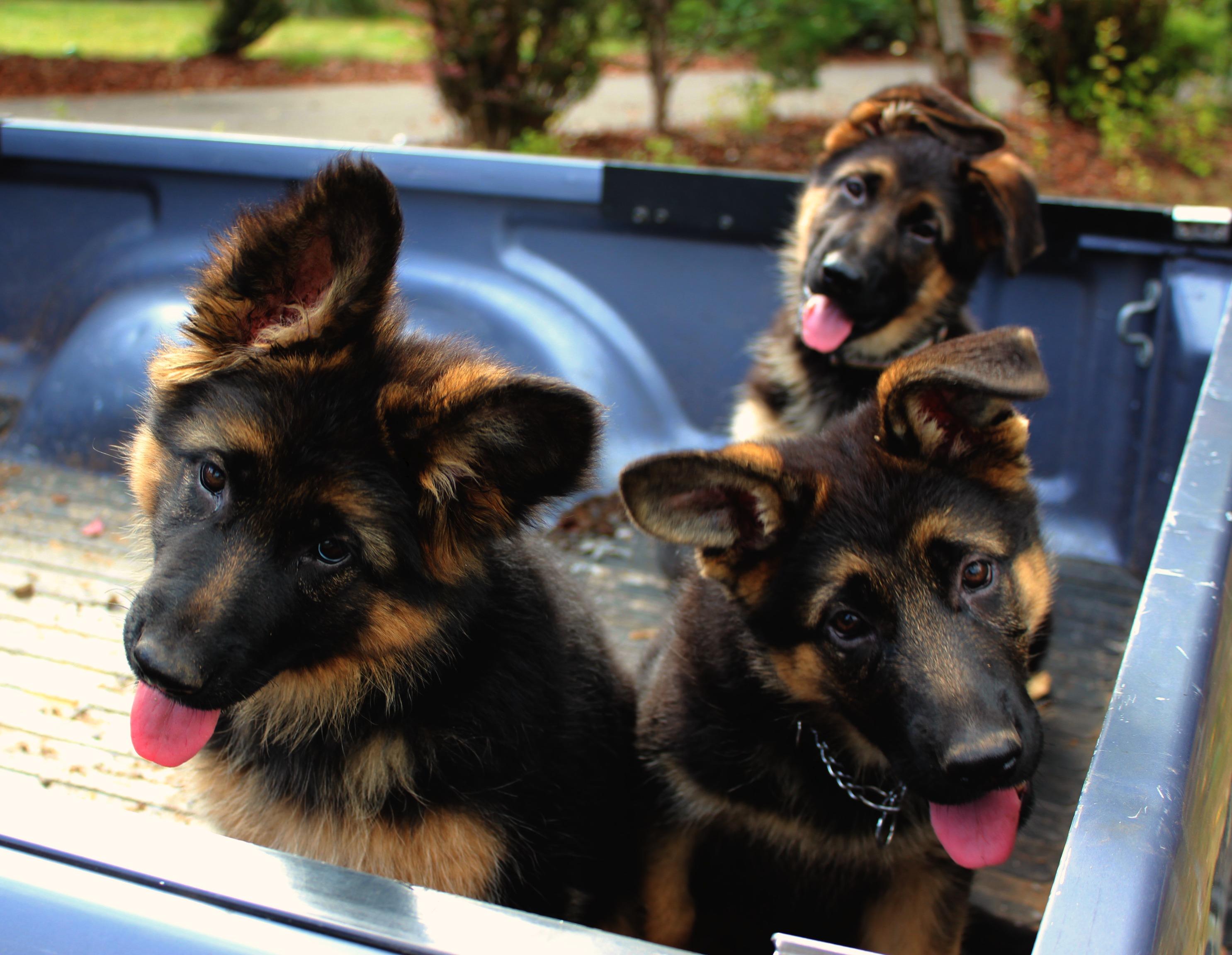 5 First Things To Teach Your German Shepherd Puppy Peychev Shepherds
